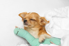 Cute Small Chihuahua Dog With ...
