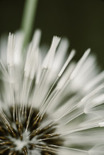 Macro Shoot Of Dandelion Insid...