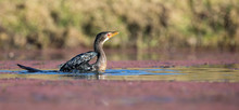 Single Reed Cormorant Landing On A Pond After Long Flight To Catch Fish
