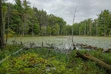 New England Swamp
