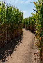 Winding Dirt Path Inside Corn Maze In The Fall