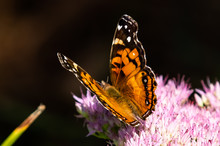 American Lady Butterfly Having...