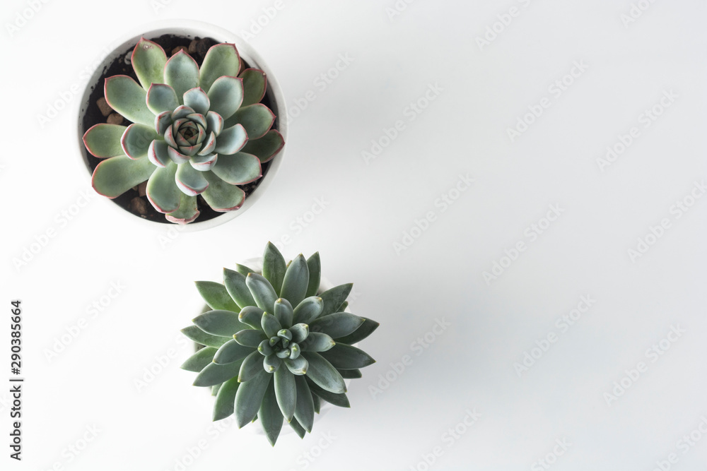Fototapeta Top view of potted succulent plants set of three various types of Echeveria succulents.