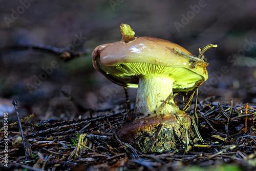 Photo  Detailaufnahme mit hoher Schärfentiefe des Pilzes Anisklumpfuss auf Waldboden mi