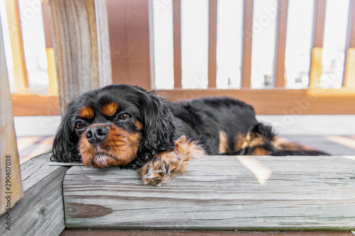 A beautiful dog is relaxed, comfortable, and falling asleep under a wooden bench outdoors on a deck in summer Wallpaper Mural