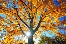 Sunny Autumn Golden Maple Tree Over Blue Sky