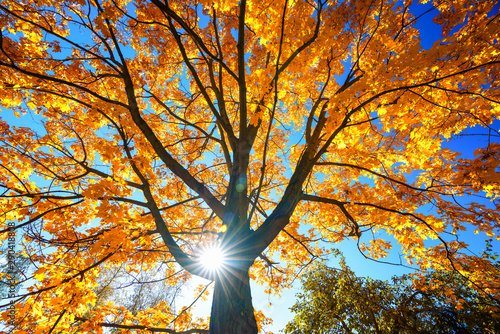Sunny autumn golden maple tree over blue sky
