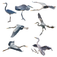 Great Blue Herons Isolated On ...