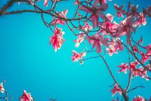 Pink Magnolia Flowers Tree Wit...