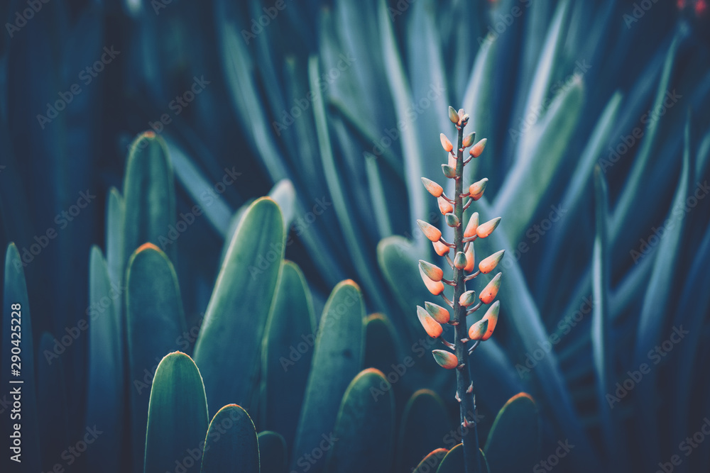 Fototapety, obrazy: Aloe Flower with vintage style