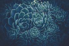 Close Up Of Succulent Plants; ...