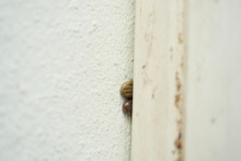 Two Brown Dog Ticks On Wall, The Tick Is Hiding In The Alley On The Wall To Lay Egg
