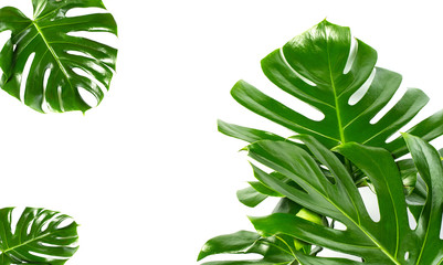 Exotic tropical monstera palm leaves