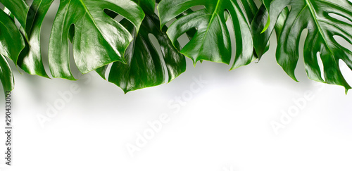 Exotic tropical monstera palm l