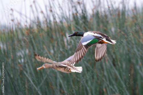 Photo Northern Shoveler duck taking flight from wetlands