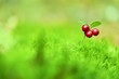 canvas print picture - Lingonberry berry on green moss. Autumn forest. Berry harvesting
