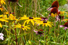 Flowerbed With Black-eyed Susans And Purple Coneflowers