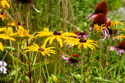 Fototapeta flowerbed with black-eyed susans and purple coneflowers