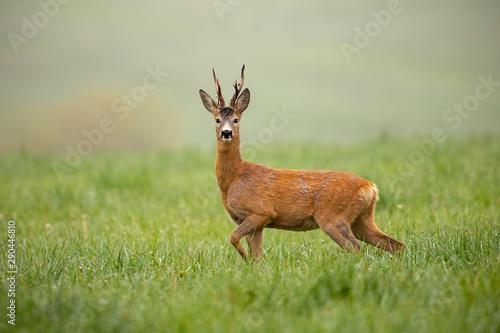 Foto op Plexiglas Ree Roe deer, capreolus capreolus, buck watching alerted with front leg lifted in the air. Shy wild animal facing camera in wilderness