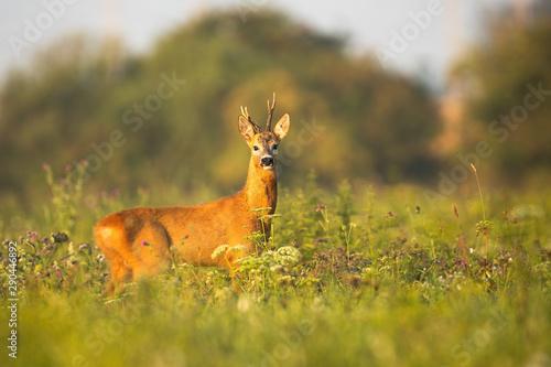 Foto op Plexiglas Ree Roe deer, capreolus capreolus, buck with asymmetrical antlers watching alerted at sunrise in summer. Wild mammal wet from moisture in nature.