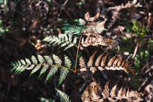 Bracken Fern Leaf In The Australian Bush With Half Green And Half Dry And Golden
