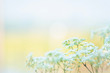 Close up soft focus of beautiful small white flowers in nature with blurred natural background and copy space.