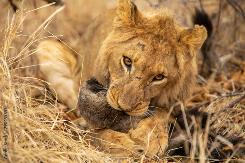 Fotografie, Tablou Young male lion playing with a dead honey badger that the pride had killed