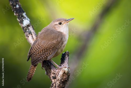 Troglodytes aedon, House wren The bird is perched on the branch in nice wildlife natural environment of Trinidad and Tobago Canvas Print