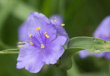 Beautiful Wild Spiderwort Flow...
