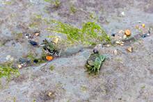 Unusual 2 Tone Shore Crab On Wet Seaweed Near A Rockpool