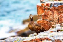Eider Duck On Clifftop