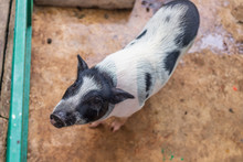 Looking Down At A Black And White Pot Bellied Pig In A Pen.