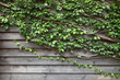 Vine growing into the house wall as vertical garden to help cooling down the temperature for urban design outdoor space