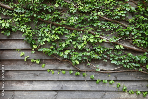 Obraz na plátne  Vine growing into the house wall as vertical garden to help cooling down the tem