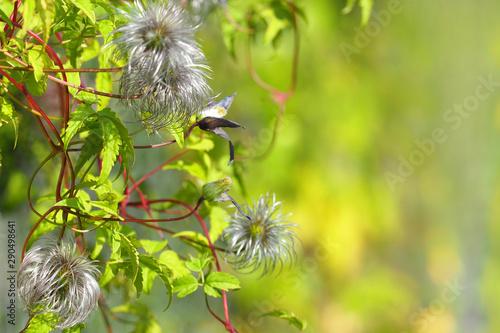Clematis jackmanii in the garden after flowering, silky seed heads Obraz na płótnie