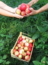 Collecting Ripe Apples In Boxes With Your Hands
