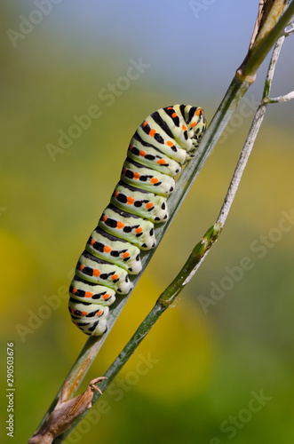 Papilio machaon — Stock Vector © Nataly-Nete #3010486 | 500x331