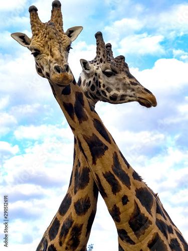 Portrait of a curious Baringo Giraffe, Giraffa camelopardalis Rothschildi Wallpaper Mural