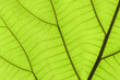 texture of a green leaves.