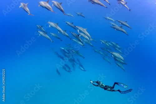 Carta da parati Pod of Spinner Dolphins and A Freediver