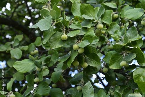 Cuadros en Lienzo Fruits vert de l' Aliboufier officinal
