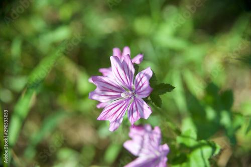 Fototapeta beautiful morning dew flower from my garden obraz na płótnie