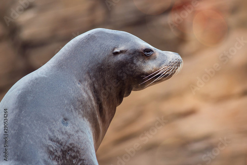 Obraz na plátně Californian sea lion in close-up
