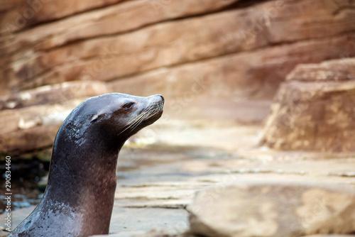 Fotografie, Obraz Californian sea lion in close-up