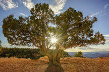 A Utah Juniper Embraces The Sun