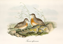 Two Button Quails Outdoor On A Rocky Ground With Grass. Vintage Hand Colored Style Illustration Of Common Buttonquail (Turnix Sylvaticus). By John Gould Publ. In London 1862 - 1873