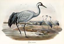 Grey Crane And Its Large Flock On A Pond, Other Exemplars Flying Far Away. Vintage Detailed Watercolor Style Illustration Of Common Crane (Grus Grus). By John Gould Publ. In London 1862 - 1873