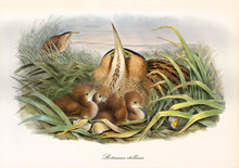 Bittern Hided In The Aquatic Vegetation With Its Just Borned Children. Vintage Watercolor Style Detailed Illustration Of Eurasian Bittern (Botaurus Stellaris). By John Gould Publ In London 1862 - 1873