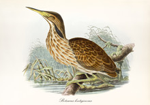 American Aquatic Bird On A Branch Over A Pond Surrounded By Vegetation. Vintage Illustration In Watercolor Style Of American Bittern (Botaurus Lentiginosus). By John Gould Publ. In London 1862 - 1873