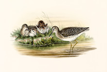 Aquatic Bird, Called Wood Sand...